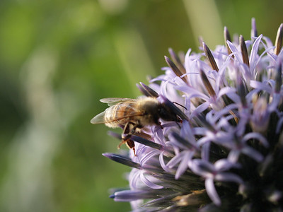 Bees on a flower in the allotments at Bingley. If only they'd stop moving...